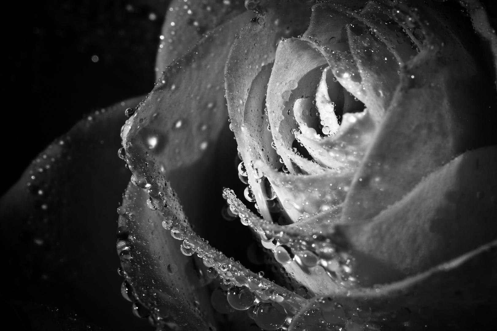 Roses are Black n White