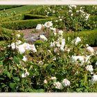 Roses de Printemps