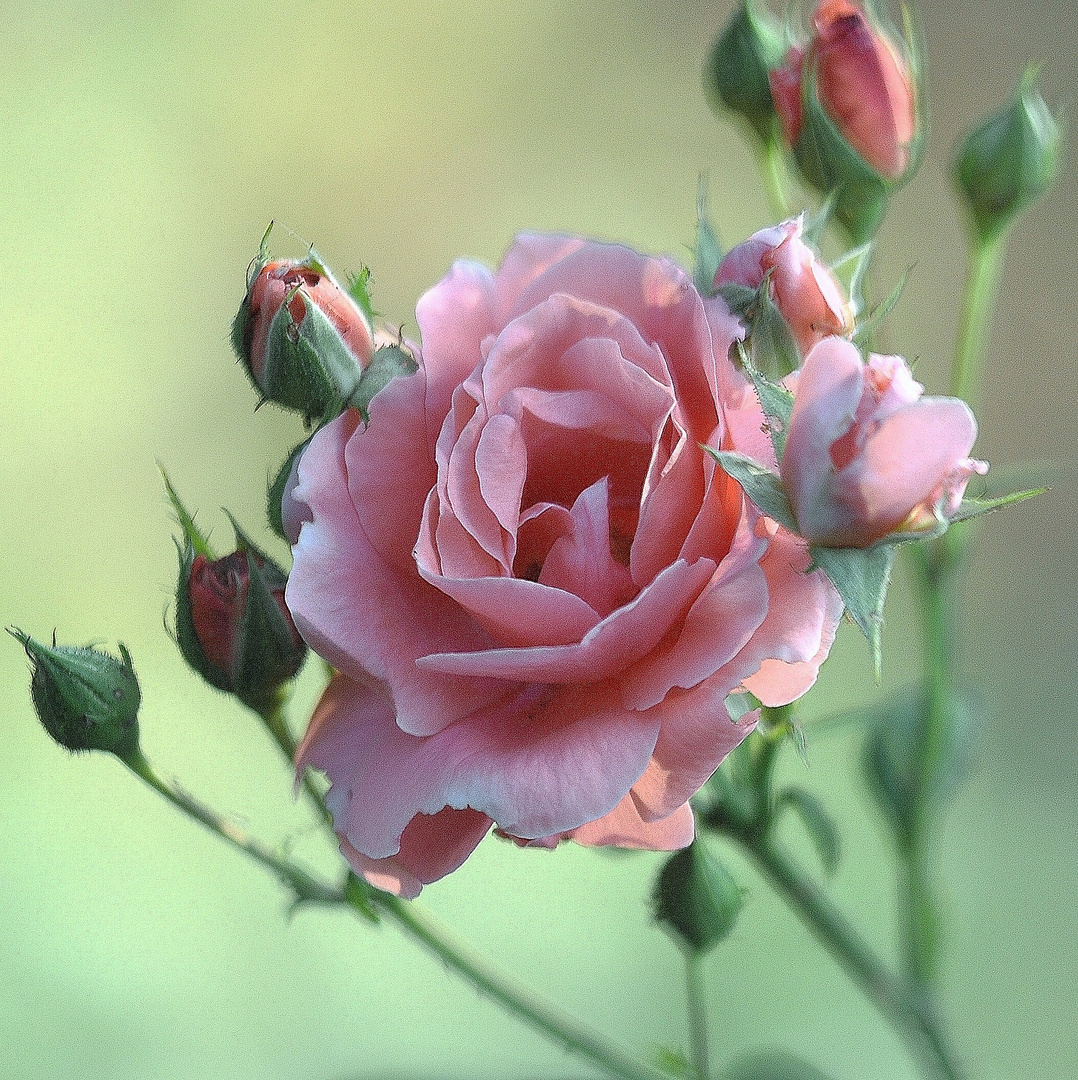roses douceurs