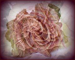 Roses d'un jour, et d'un millénaire