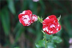 ..Roses en rose et blanc..