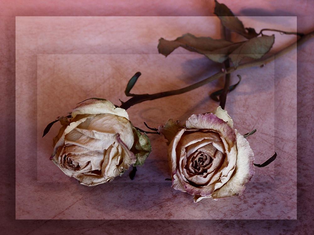 Roses fanées