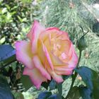 Roses from my old Garden cont....