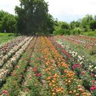 Roses in Pavlikeni