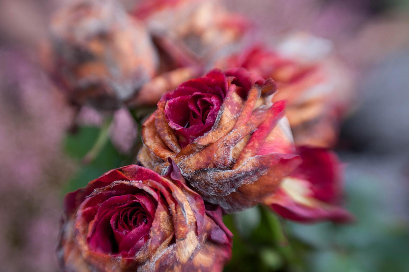 Roses mortes