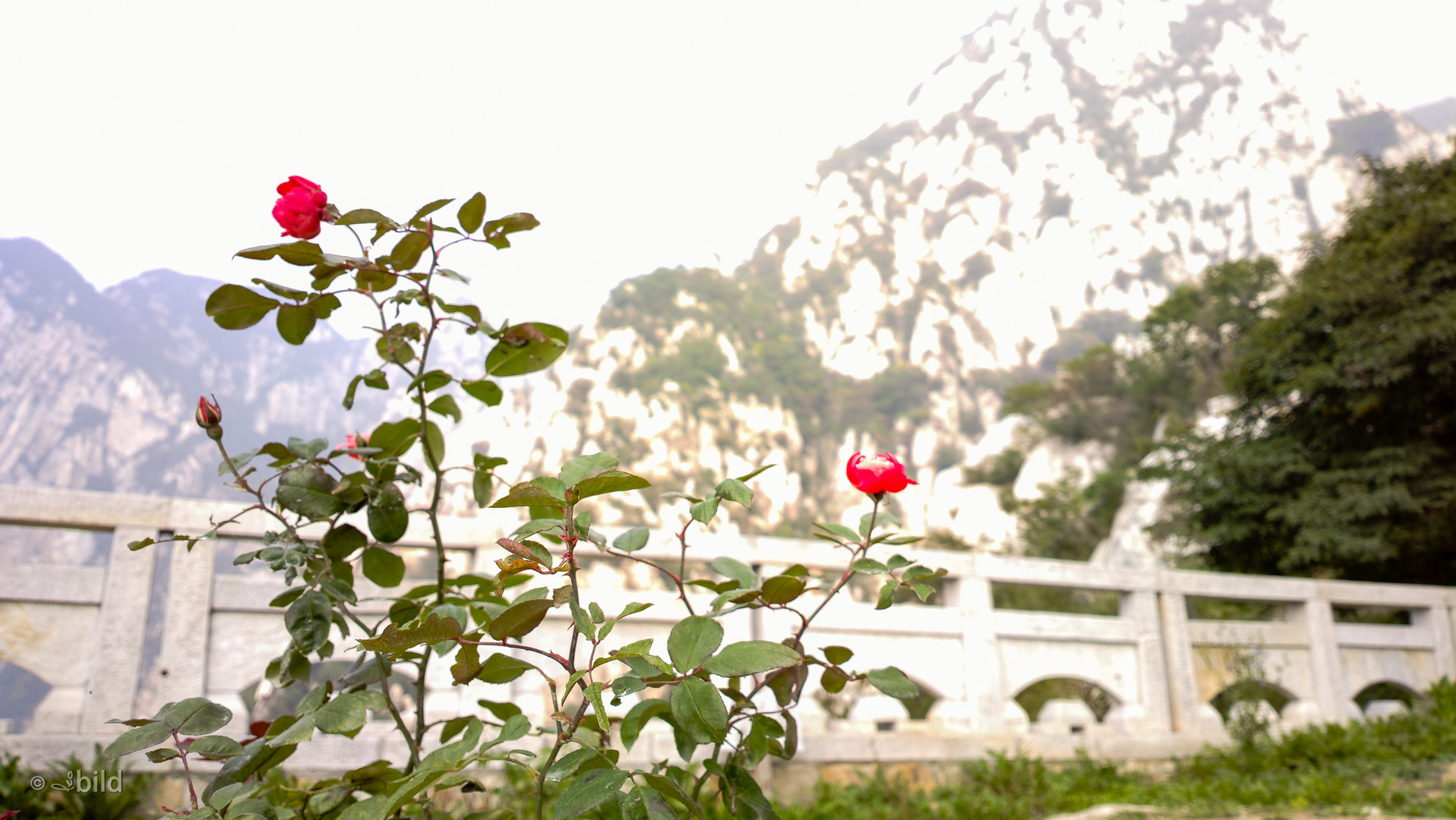 roses on songshan mountain
