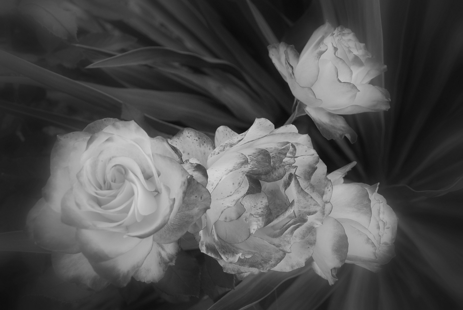 Roses Sissy