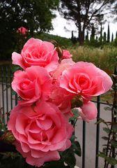 roses sur fond de paysage toscan...