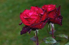 Rosier 'Baccarat' sous la pluie