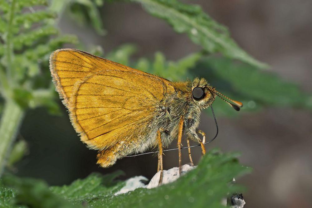 Rostfarbiger Dickkopffalter (Ochlodes sylvanus), Weibchen. - La Sylvaine.
