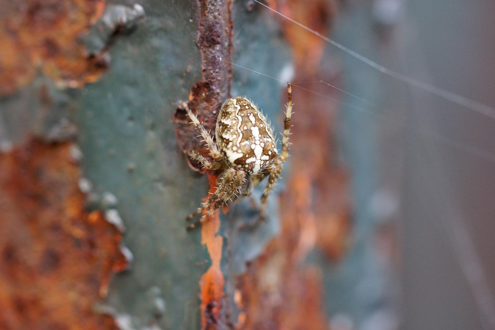 Rostige Spinne