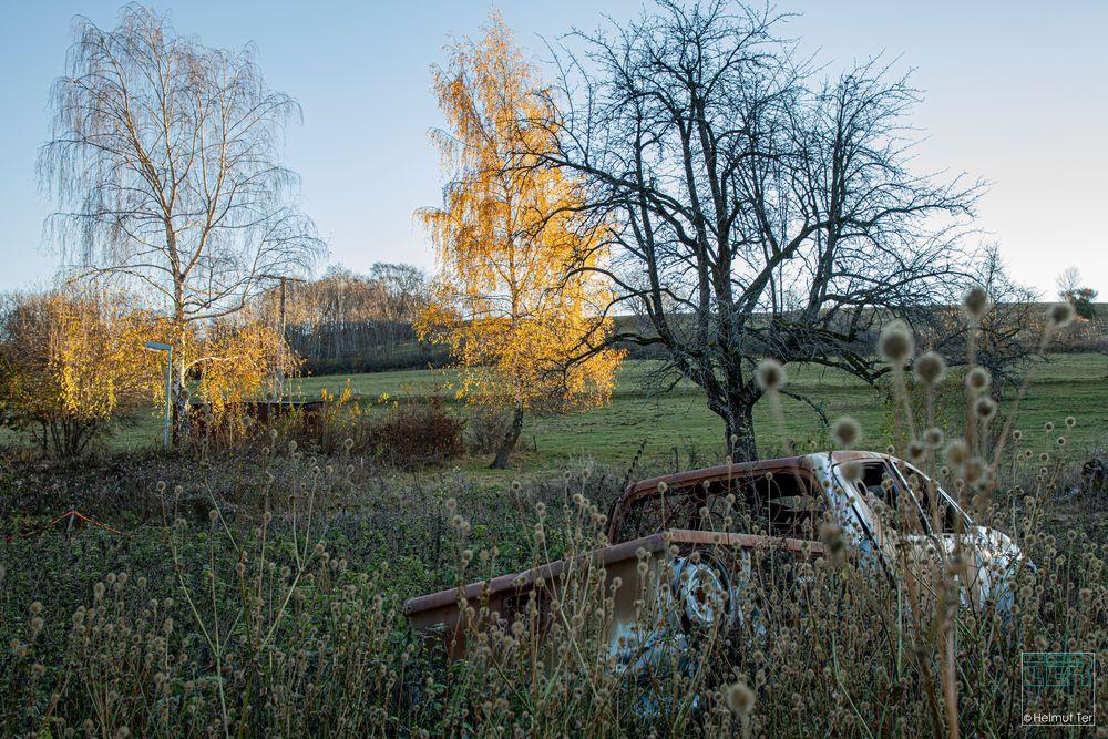 Rostlaube im Feld, aber die Birke leuchtet golden in der Morgensonne.