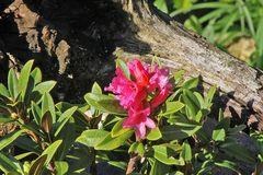 Rostrote Alpenrose