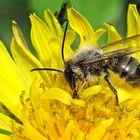 Rostrote Mauerbiene Osmia bicornis) M U 001
