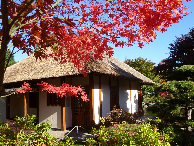 Rot-Ahorn am Japanischen Teehaus