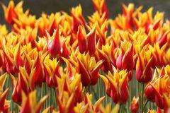 Rot-gelbe Tulpen