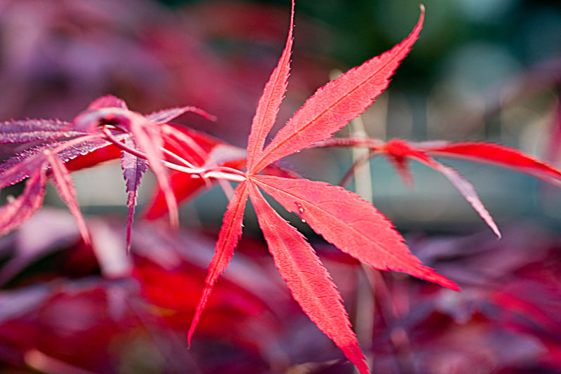 rot ist doch eine tolle farbe foto bild pflanzen pilze flechten str ucher. Black Bedroom Furniture Sets. Home Design Ideas