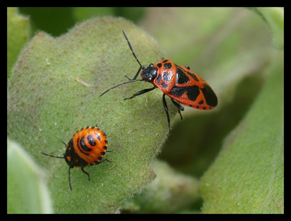 rot schwarz foto bild tiere wildlife insekten bilder auf fotocommunity. Black Bedroom Furniture Sets. Home Design Ideas