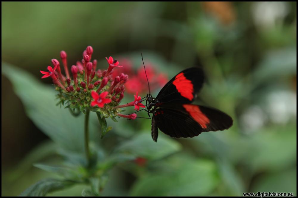 rot-schwarzer Schmetterling auf Blüte