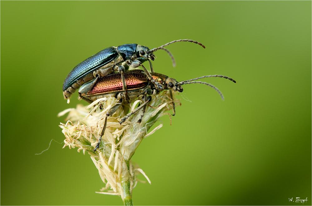 rot und blau foto bild tiere wildlife insekten bilder auf fotocommunity. Black Bedroom Furniture Sets. Home Design Ideas