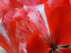 ..rot-weiß-rot..