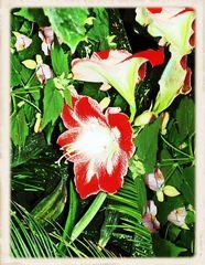 Rot-weiße Amaryllis