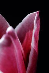 Rot-Weiße Tulpe