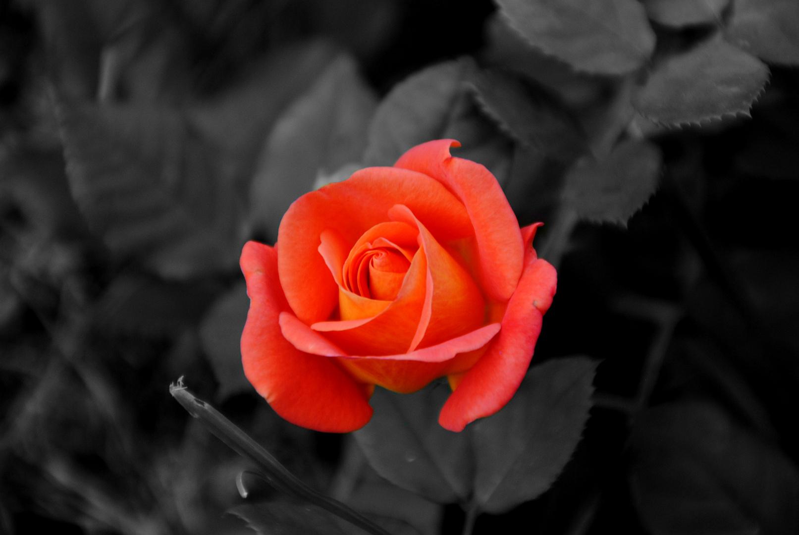 Rot wie die Liebe =D