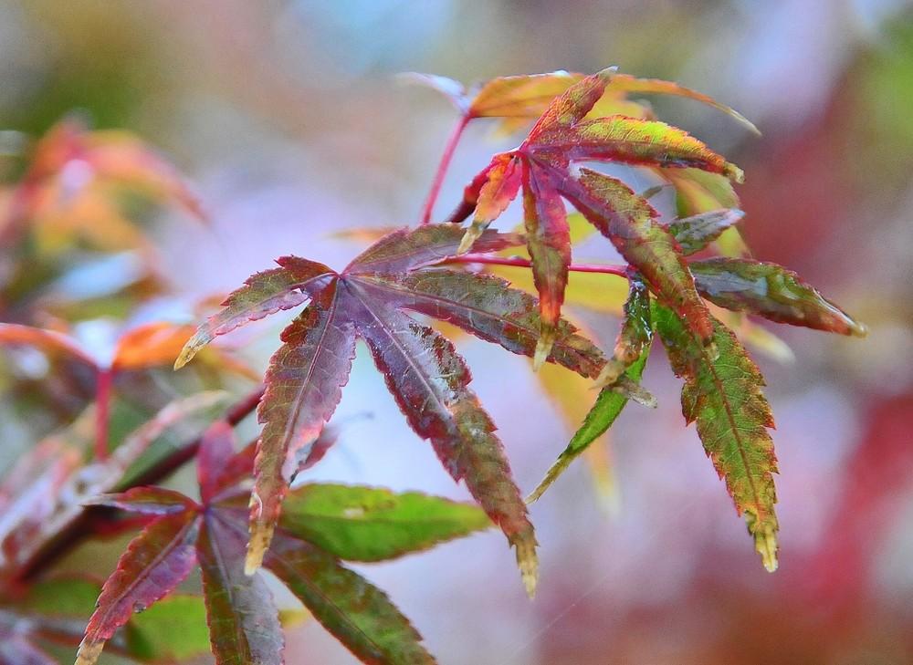 Rotahorn im Herbstmantel