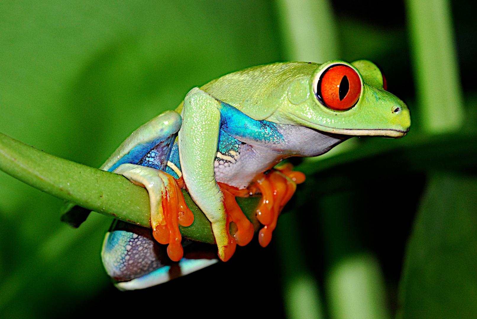 Rotaugenfrosch (Agalychnis callydrias) Costa Rica