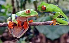 Rotaugenlaubfrosch - Costa Rica - 02 2002 -