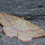 Rotbandspanner (Rhodostrophia vibicaria) - La Bande rouge, un papillon de nuit.