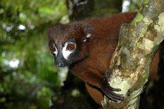 Rotbauch Lemur in Madagaskar