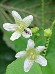 Rotbeerige Zaunrübe (Bryonia dioica)