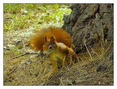Rotbraunes Eichhörnchen