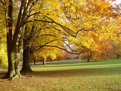 Rotbuchen - Herbst