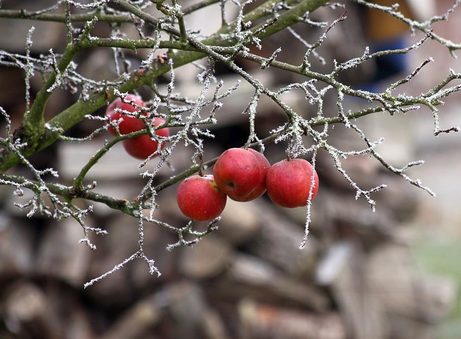 Rote Äpfel - Farbtupfer in der kahlen Winterlandschaft