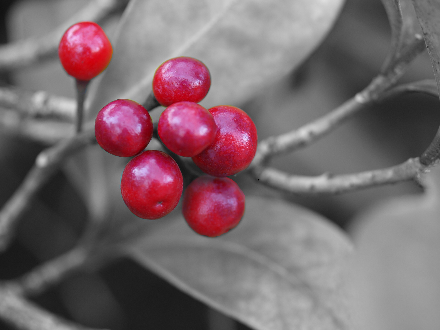 rote Beere - Colorkey