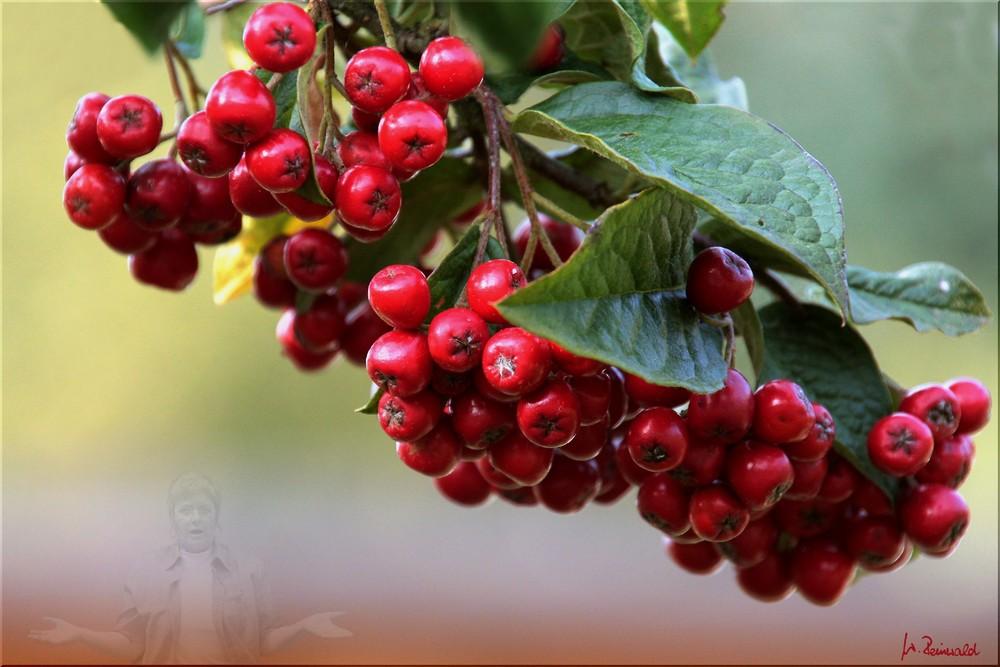 ~ Rote Beeren ~