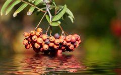 Rote Beeren im Herbst...