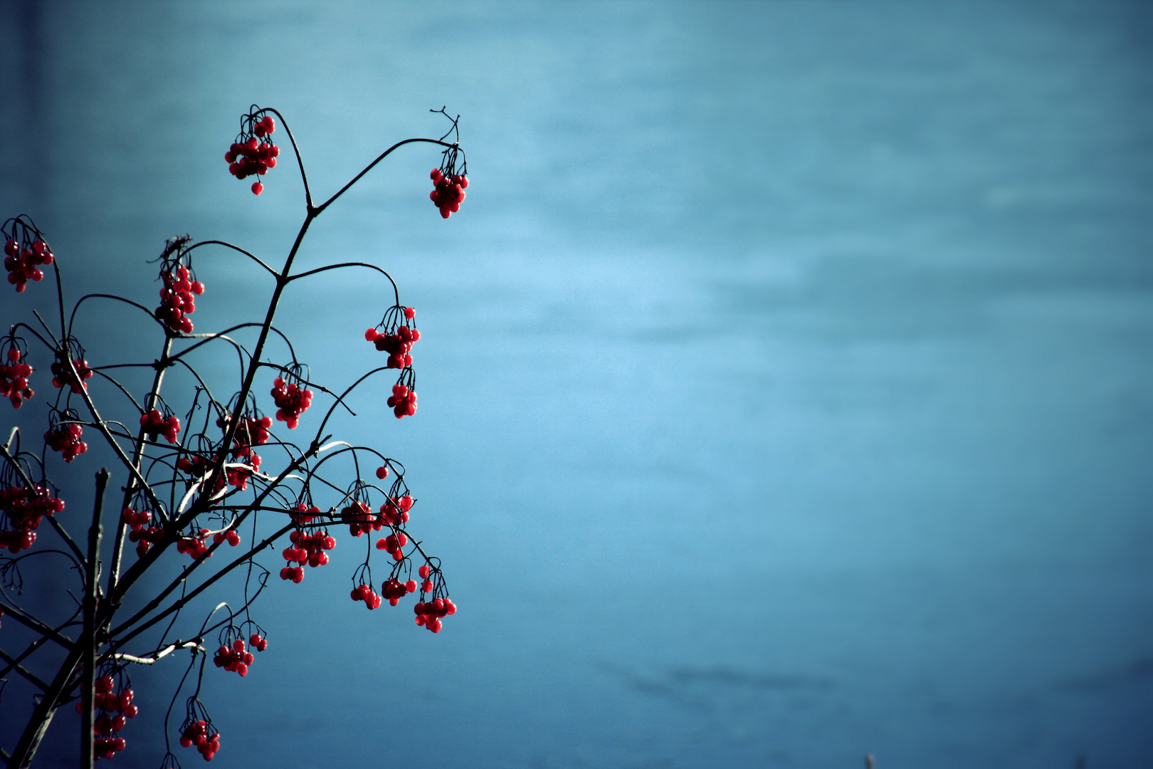 Rote Beeren im Winterhimmel