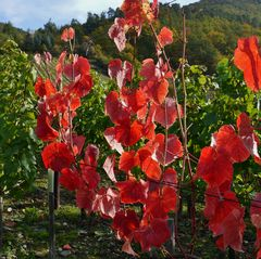 rote Blätter im Grün ...