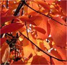 rote Blattfärbung - Wind - und Sonnenlicht