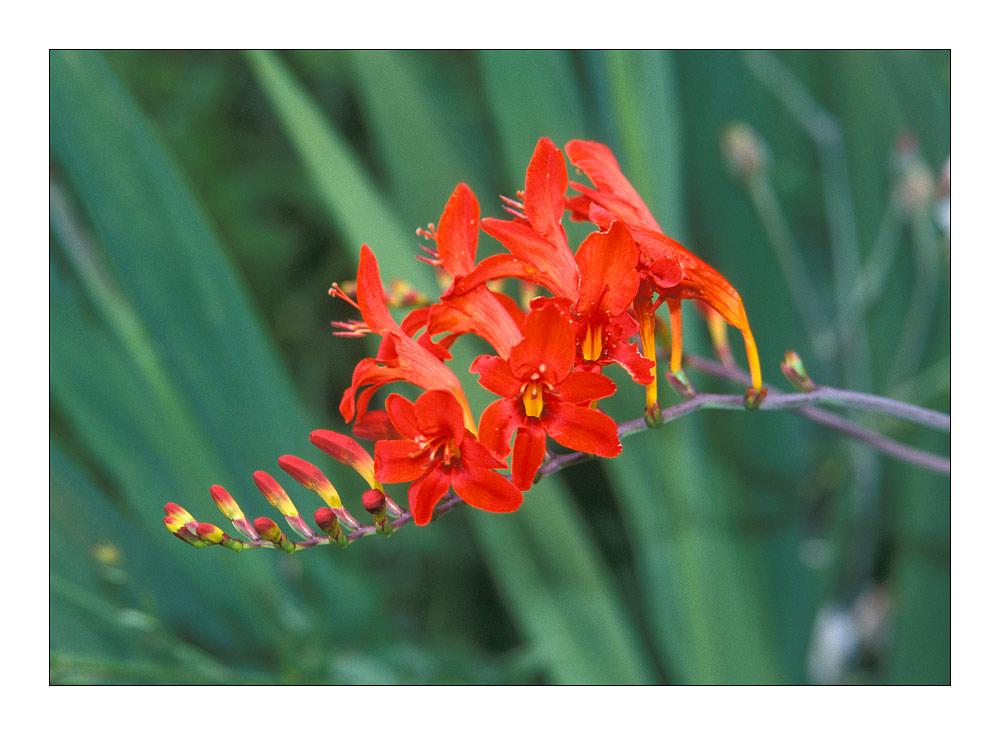 rote Blüte ...