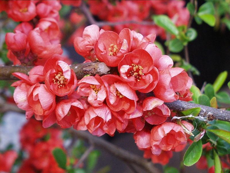 rote bl ten im garten foto bild pflanzen pilze flechten str ucher natur bilder auf. Black Bedroom Furniture Sets. Home Design Ideas