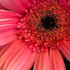 rote Blume II