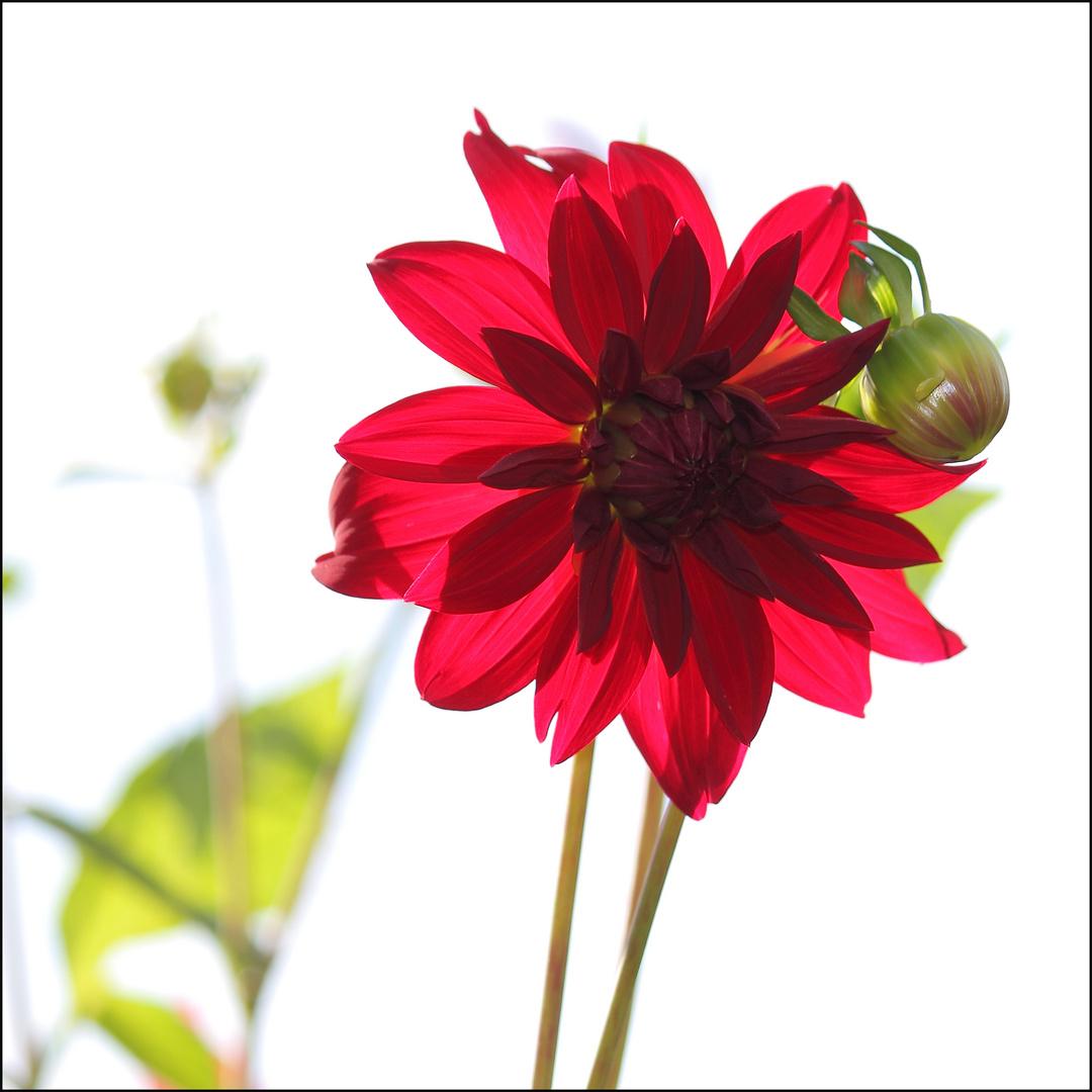Rote Blume im Gegenlicht