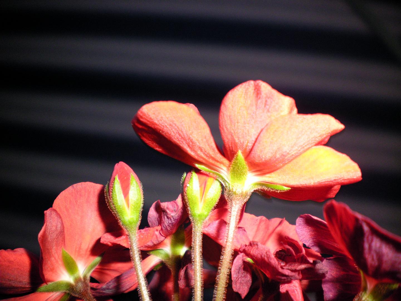 Rote Blume in Omas Garden