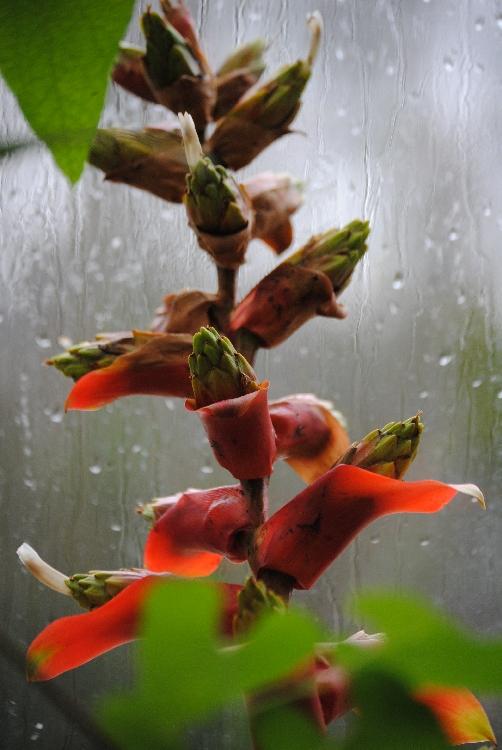 rote Blume vorm Fenster