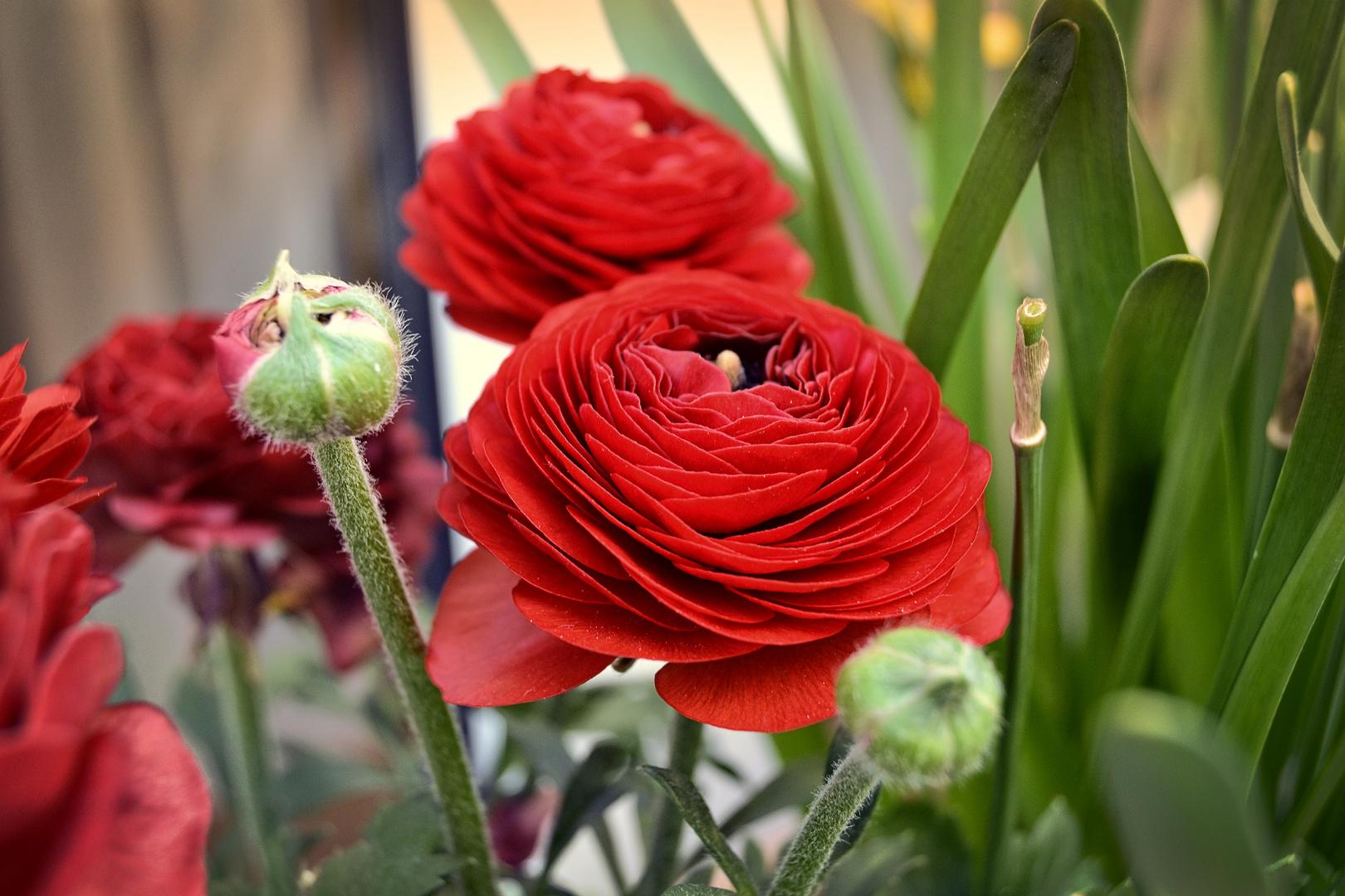 Rote blumen foto bild pflanzen pilze flechten blten rote blumen thecheapjerseys Images